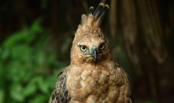 Javan Hawk Eagle