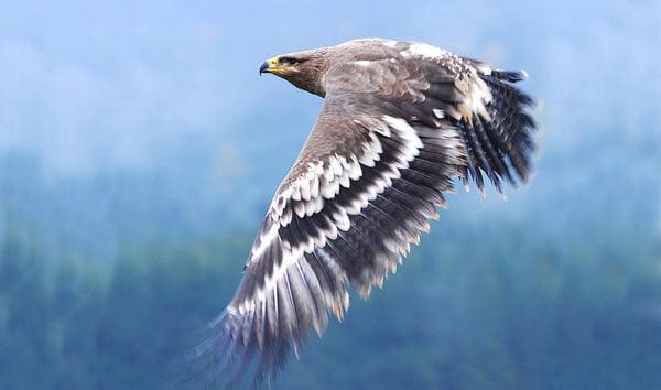 czech Eagle