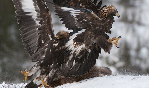 dance eagles