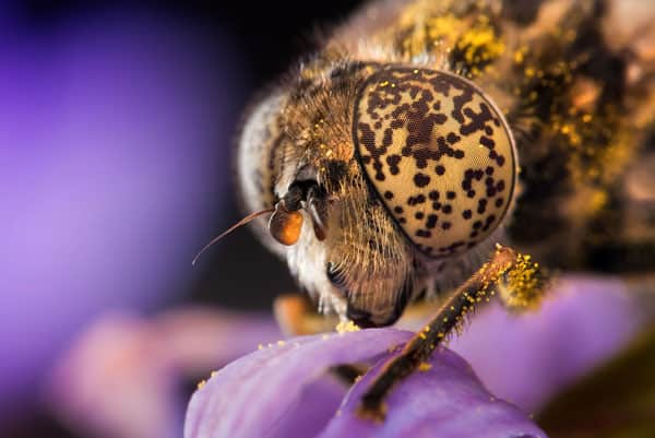 Eristalinus Night shots