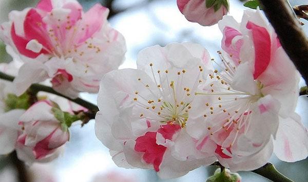 Pink stripes - Sakura