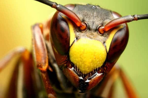 Wasp portrait IX