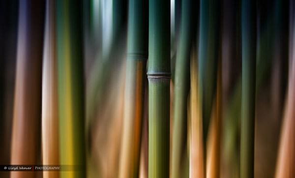 Bamboo Dreaming