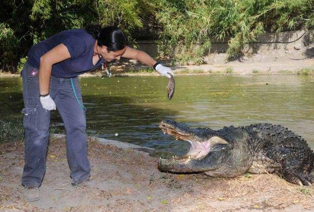 crocodile-hamat-gader