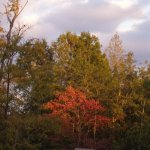 The Dogwood Trees are Starting to Change into Their Autumn Colors