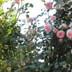 Old Fashioned Roses and Azaleas