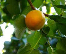 Apricot growing on tree