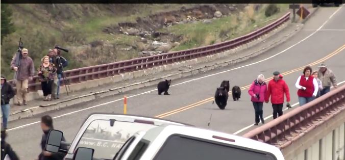 A Bear Encounter in Yellowstone National Park-Nobody Got Chased & The Cubs Were Not (only) What Made This Dangerous