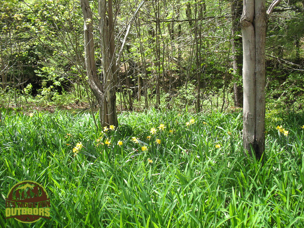 Daffodils everywhere along the remains of cobblestone paths to the water. View of Low's upper dam from the ruins. Ruins of a building once owned by A.A. Low. May 2015 Bog River Flow Hike, Paddle, Camp!