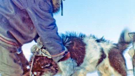Itittuq harnessing his dog, preparing for a hunt.  Photo date: 1958   Photographer Credit:   Father Jules Dion, O.M.I.  Avataq Cultural Institute/DIOLocation