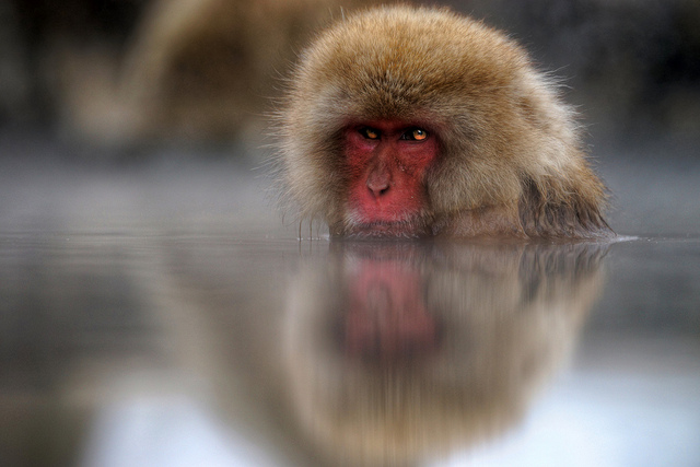 Keeping warm - snow monkey in Aichi Prefecture