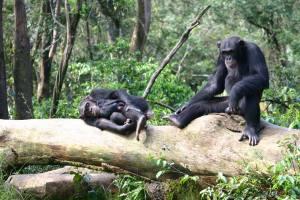 TCS Chimps