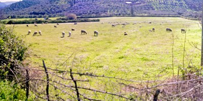 Field with Sheep (Panorama)