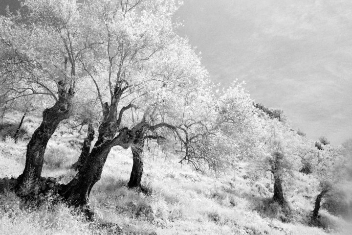 Olive Trees in Infrared