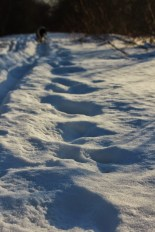Larger critter tracks
