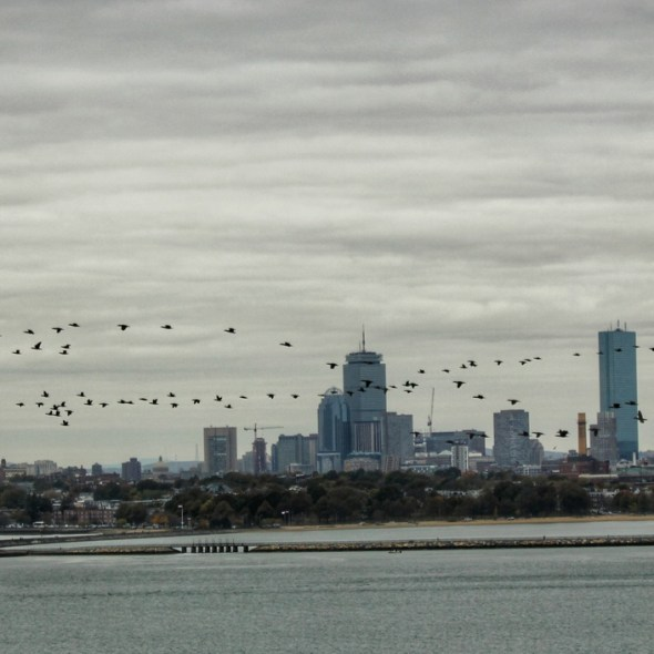 Geese and skyline from Spectacle Island