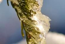 détail d'un arbre pris sous la glace
