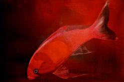 Rødfisk 150X100 cm · privat eje
