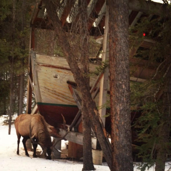 Bull elk visiting the Leighton Studios at The Banff Centre.