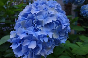 Blue Nikko hydrangea