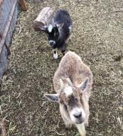 Pygmy_goats.1600