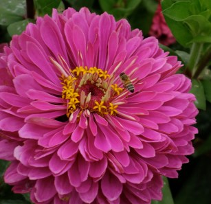 zinnia_with_honey_bee2