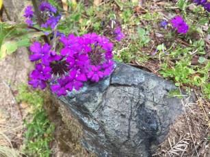 verbena_Homestead-purple