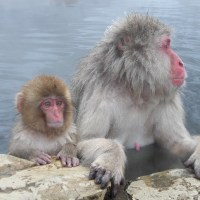 Bathing with beasts at Jigokudani snow monkey park