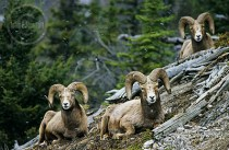 Families of bighorn sheep relax in Jasper.
