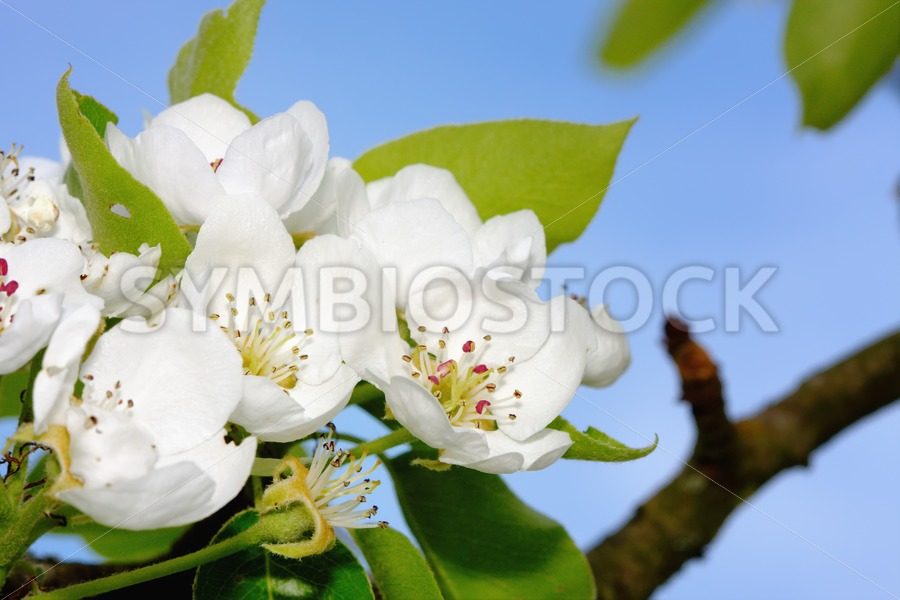 Apple blossom - Jan Brons Stock Images