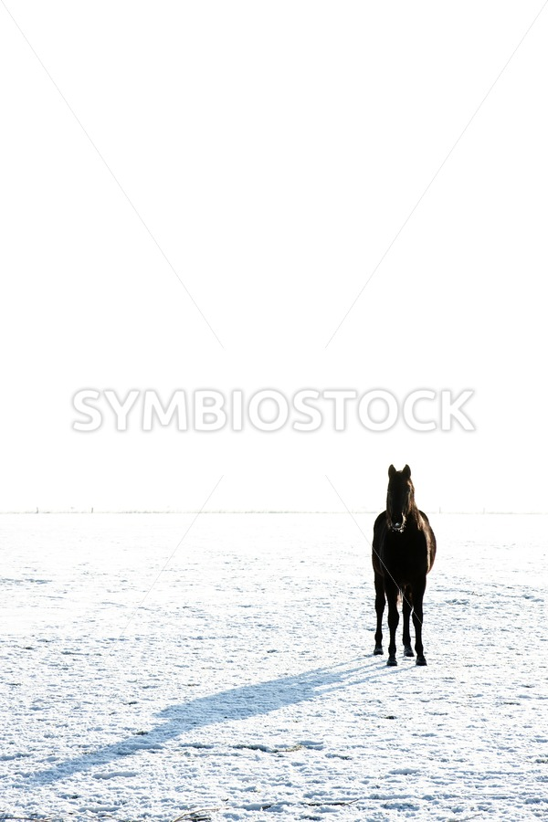 Friesian horse in snow - Jan Brons Stock Images