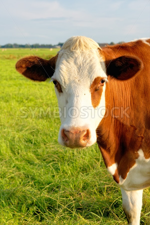 Front view Friesian cow. - Jan Brons Stock Images