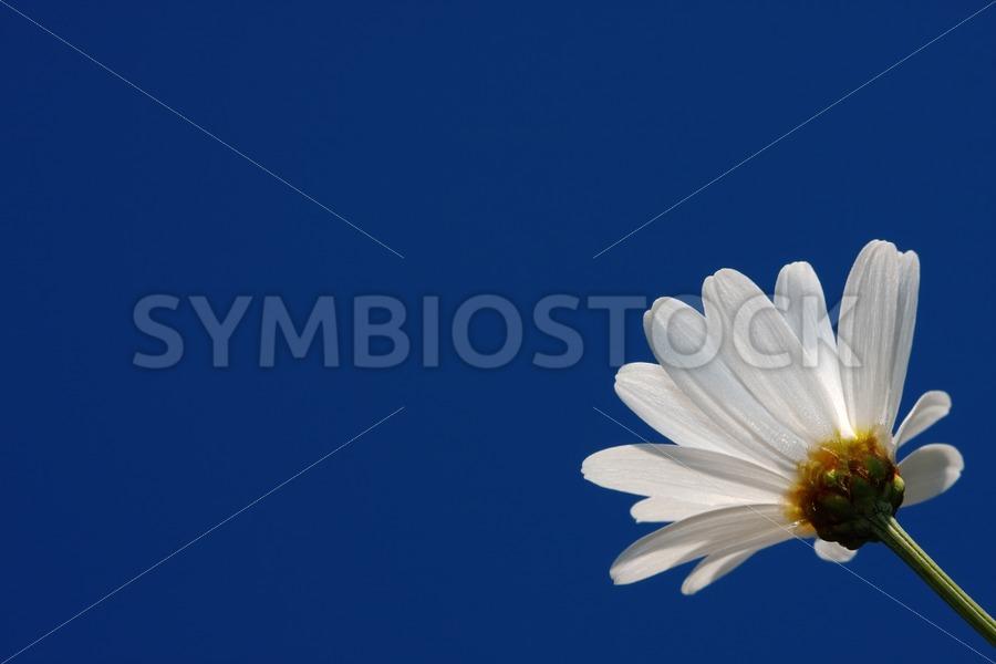 Single daisy - Jan Brons Stock Images