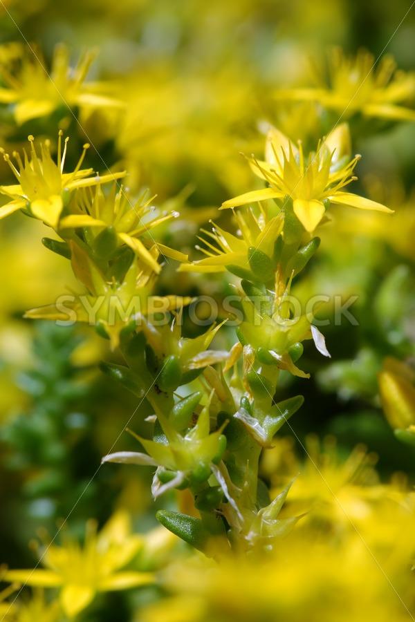 Stonecrop sedum - Jan Brons Stock Images