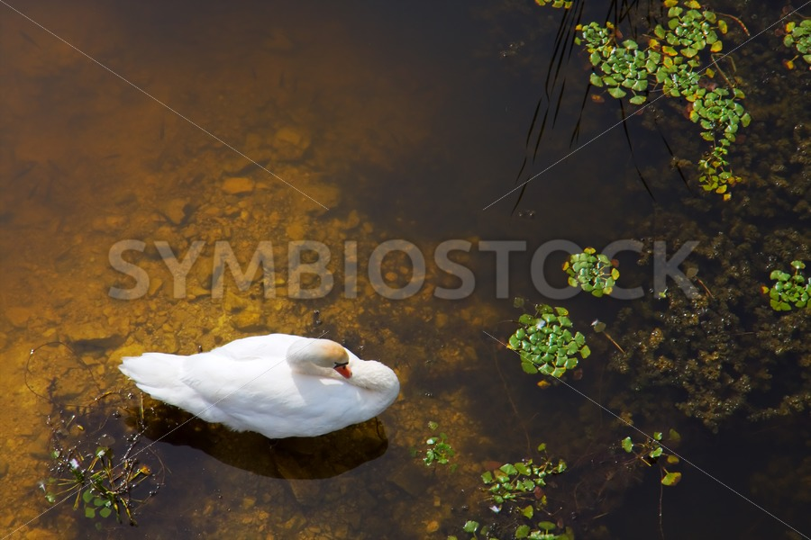 Swan with sun reflection on water. - Jan Brons Stock Images