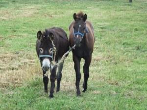 donkey-horse