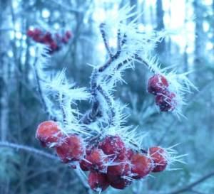 SumacBerriesWithHoarfrost