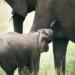 Tanzania Elephant Suckling Tarangire National Park thumbnail