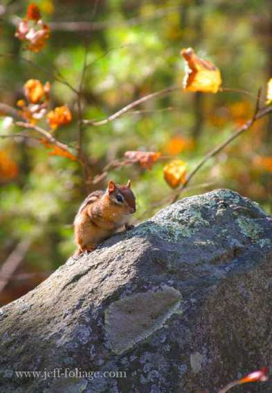 in the fall foliage season a chipmunk sets on a rock wall with leaves of yellow and brown around him