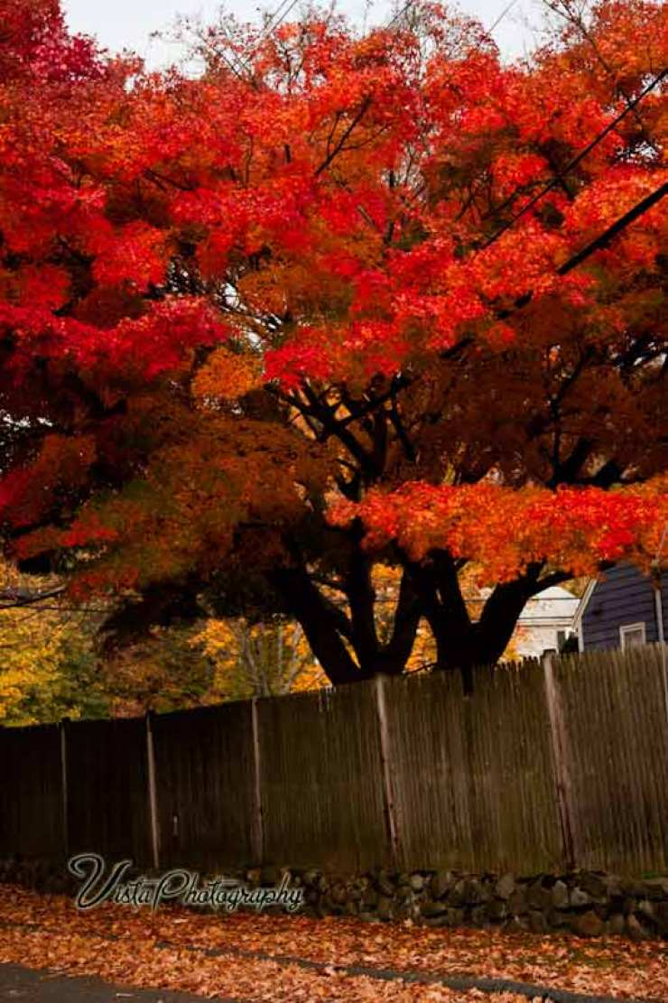 Orange maple in Marblehead MA