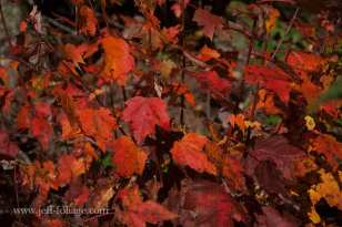 color for the sake of color red and orange Maple leaves in the morning sunlight