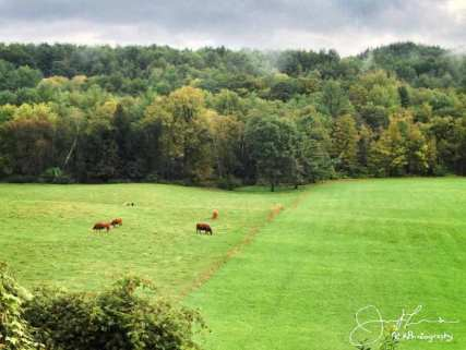 early fall colors above cows in the fields in Norwich VT