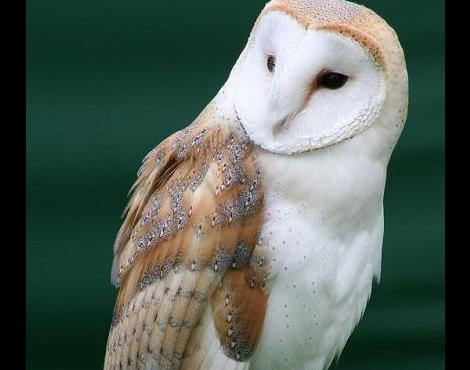 barn_owl1