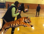 After eating two acai bowls each, the gym teachers become so fast that they can even beat a tiger in a race. Ms. Corbett and Ms. Dunn no longer drive to school because they can run there in under one minute without even breaking a sweat.