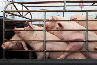 livestock pigs