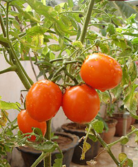 Eller-050412-Tomatoes