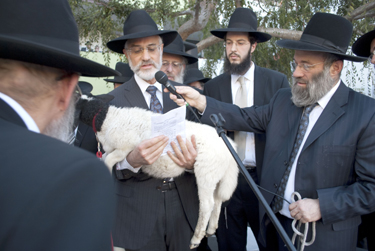 Heshy Jacobs, a kohen, accepting the lamb used to redeem the petter chamor. Standing behind Jacobs are (L-R) Rabbi Boruch Gradon; Rabbi Doron Jacobius; and Rabbi Gershon Bess. (Photo credit: Rabbi Arye D. Gordon)