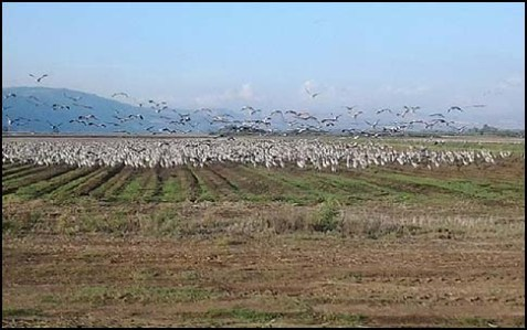 Cranes at the Hula Valley in the Galilee.