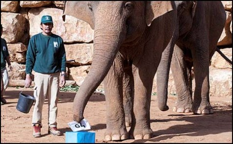 "Suzan, an Asian elephant whose current address is at the Jerusalem Biblical Zoo, casting her vote on election day, Jan. 22, 2013. Susan picked Peh Lamed – which stand for ""Pil"" – elephant in Hebrew."