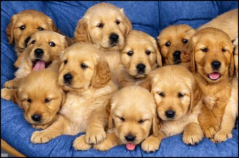 golden_retriever_puppies